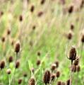Teasel Meadow by Angela Rath