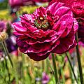 Tecolote Ranunculus Flowers By Diana Sainz by Diana Raquel Sainz