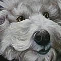 Teddy The Bichon by Melinda Saminski
