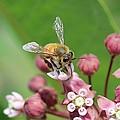 Teetering On Milkweed by Lucinda VanVleck