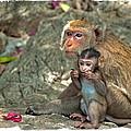 Temple Monkeys by Harold Bonacquist