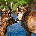 Tender Kiss. Deer In The Pamplemousse Botanical Garden. Mauritius by Jenny Rainbow
