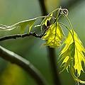 Tender Oak Leaves Emerge by Beth Akerman