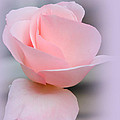 Tenderness of a Rose