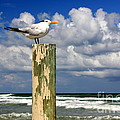 Tern On A Piling by Sean Hughes