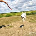 Terrier Levitation by Susan Herber