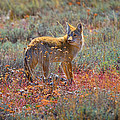 Teton Coyote by Greg Norrell