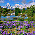 Teton Spring Lupines by Greg Norrell