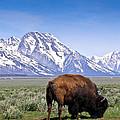 Tetons Buffalo Range by Douglas Barnett