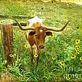 Texan Longhorn by Erika Weber