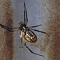 Texas Barn Spider In Web 2 by Big E tv Photography