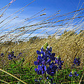 Texas Bluebonnet Center Of Attention by JG Thompson