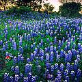 Texas Bluebonnet Field by Inge Johnsson
