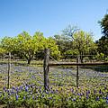 Texas Bluebonnet Lupine Pature by Kathy Clark