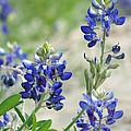 Texas Bluebonnets 01 by Robert ONeil