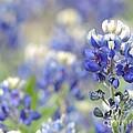Texas Bluebonnets 05 by Robert ONeil
