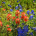 Texas Bluebonnets And Red Indian Paintbrush by Lynn Bauer