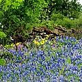 Texas Bluebonnets And Stone Wall by Marilyn Burton