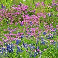 Texas Bluebonnets And Wildflowers by Marilyn Burton