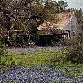 Texas Bluebonnets With Old Abandoned Shack by Terry Fleckney