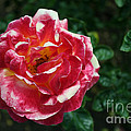 Texas Centennial Rose by M Valeriano