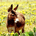Texas Donkey In Yellow Cacti by Linda Cox