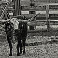 Texas Longhorn Black And White by Jonathan Davison