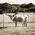 Texas Longhorn Cow Next To A Fence In A Field In Sepia 3103.01 by M K Miller