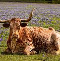 Texas Longhorn by John Johnson