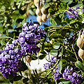 Texas Mountain Laurel Sophora Flowers And Mescal Beans by Michael Moriarty