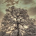 Texas Oak Tree by Jane Linders