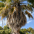 Texas Palm by Bob Phillips