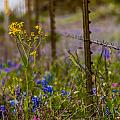 Texas Roadside Wildflowers 747 by Melinda Ledsome