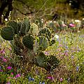 Texas Roadside Wildflowers 757 by Melinda Ledsome