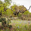 Texas Roadside Wildflowers 759 by Melinda Ledsome