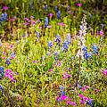 Texas Roadside Wildflowers 761 by Melinda Ledsome