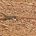 Texas Striped And Spotted Whiptail Lizard by Donna Wilson