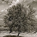 Texas Winery Tree And Vineyard by Kristina Deane