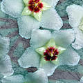 Textured Hoya by Debbie Hart