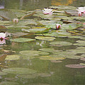 Textured Lilies Image  by Carla Parris