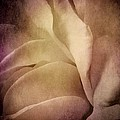 Textured Rose Petals In Lilac by Patricia Strand