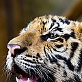 Thai Bengal Tiger by Fototrav Print