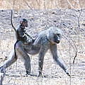 Thanks For The Ride Olive Baboon by Tom Wurl