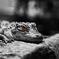 The Alligator's Eying You by Linda Leeming