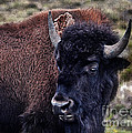 The American Bison by Janice Pariza