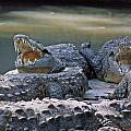 Ma-904-the American Crocodile  by Ed  Cooper Photography