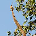 The American Kestrel by Bill Wakeley