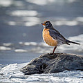 The American Robin Square by Bill Wakeley