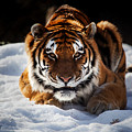 The Amur Tiger by Karol Livote