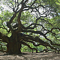 The Angel Oak by Suzanne Gaff
